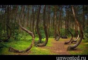 Необычный кривой лес в Польше