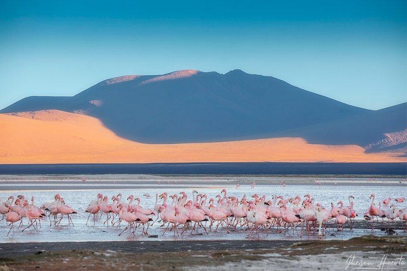 Фламинго в лагуне Колорада Боливия