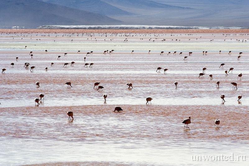 Солончак Уюни - три вида южно-американских фламинго