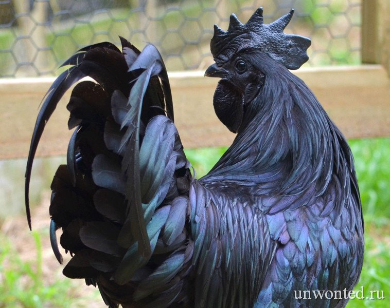 Необычные куры Ayam Cemani