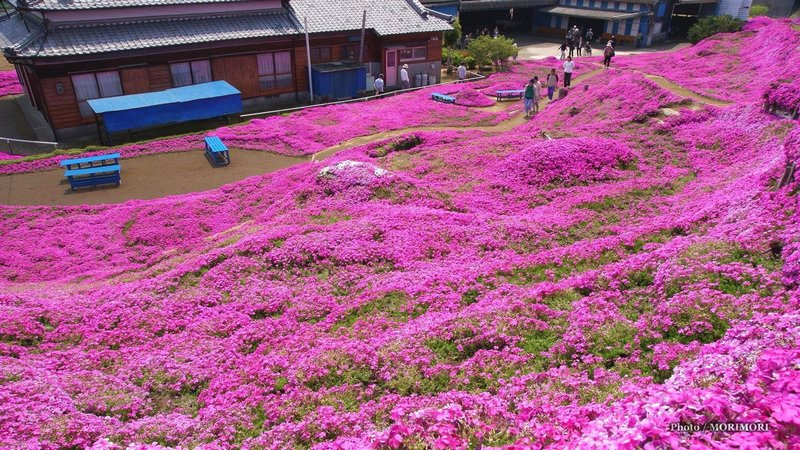 Цветы флоксы - сад Куроки
